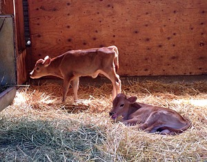 calves (4)