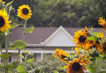 splash_sunflowerwhitehouse1_jb