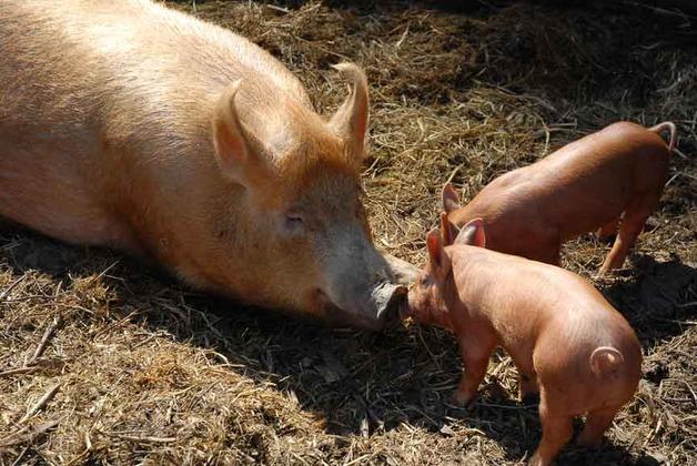 pig_kiss