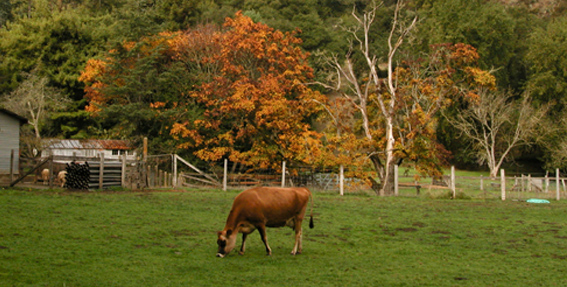 cow_pasture_fall_colors_dq 3