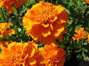 african-marigold-dia-de-los-muertos