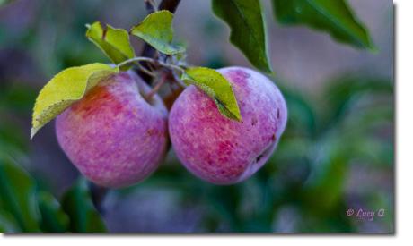 HV Apples news letter-1