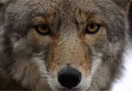 coyote-closeup 2