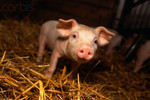 piglets-baby-animals-19892030-640-426